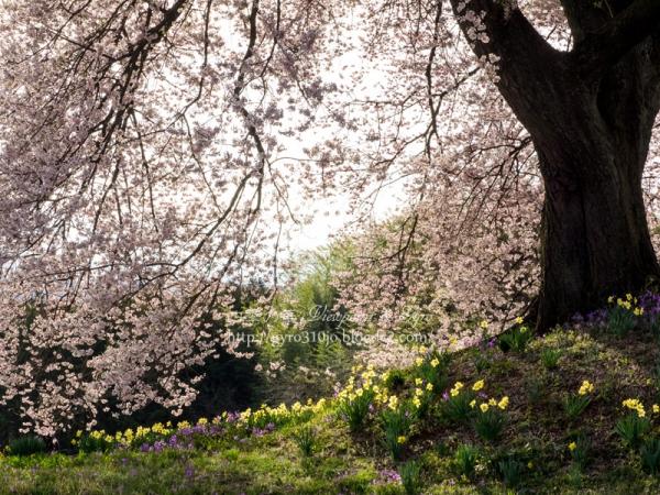 わに塚の桜 D