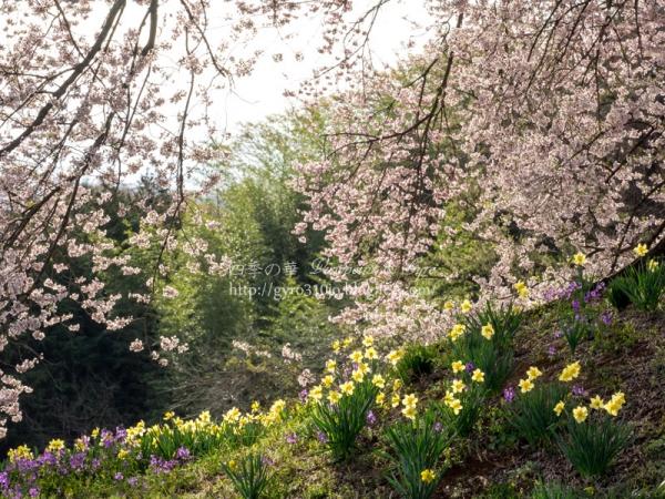 わに塚の桜 E