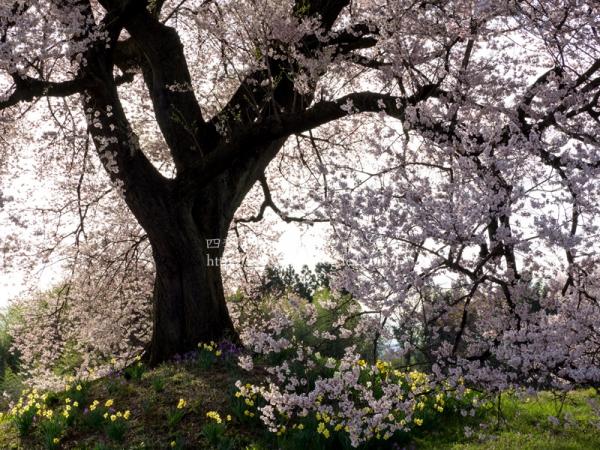 わに塚の桜 F