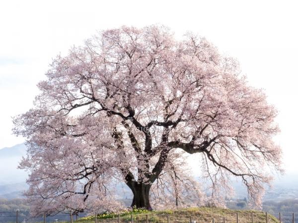 わに塚の桜 G