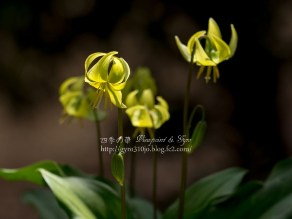 黄花カタクリの花 A