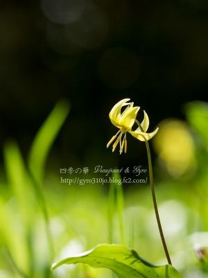 黄花カタクリの花 C