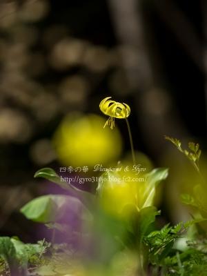 黄花カタクリの花 B