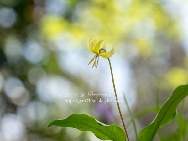 黄花カタクリの花 H