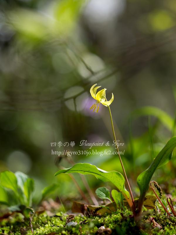 黄花カタクリの花 G