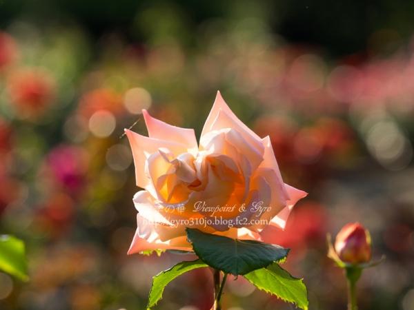 北公園の薔薇 A