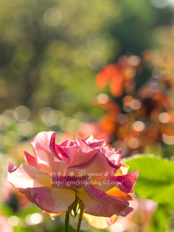 北公園の薔薇 B
