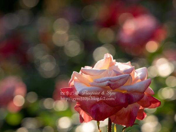 北公園の薔薇 C