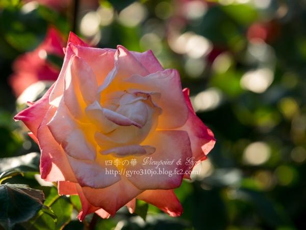 北公園の薔薇 E