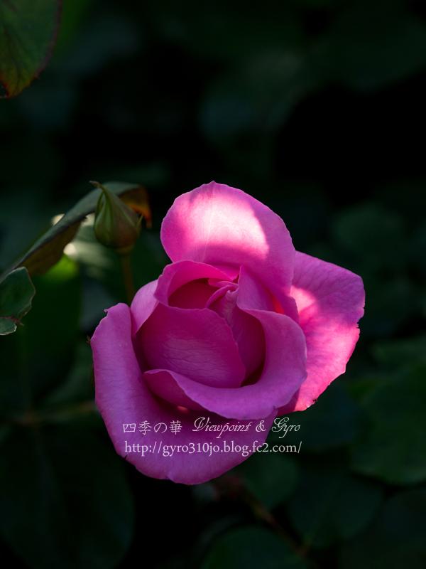 北公園の薔薇 F