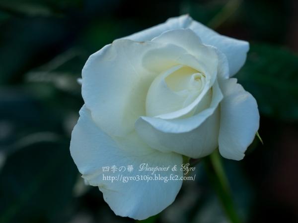 北公園の薔薇 G