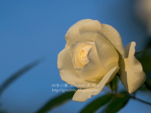 北公園の薔薇 I