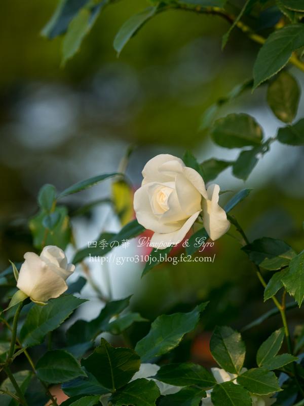 北公園の薔薇 H