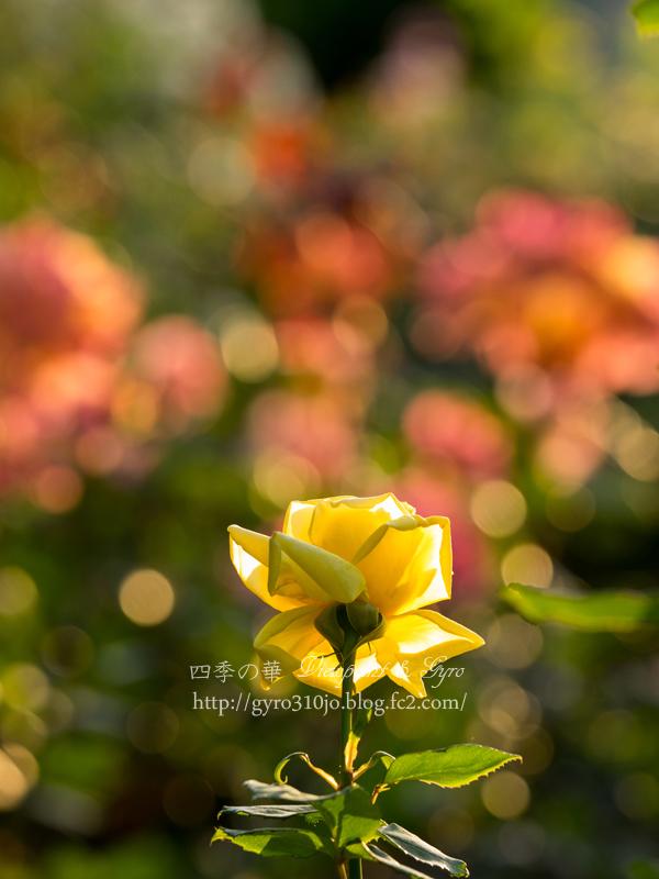 北公園の薔薇 D