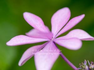 紫陽花 I