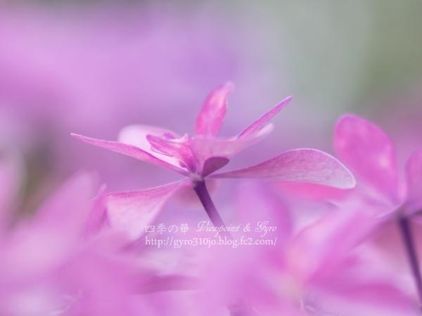 紫陽花 H
