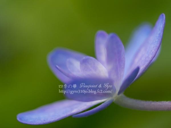 紫陽花 D