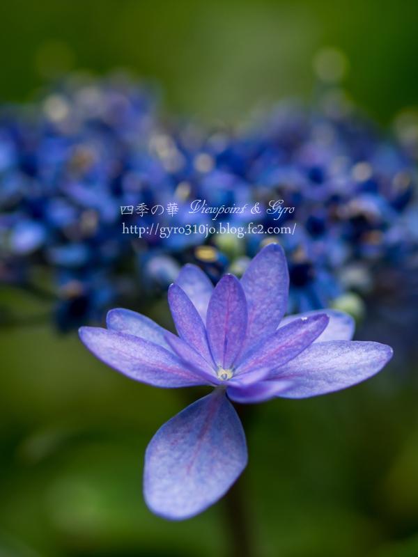 紫陽花 C