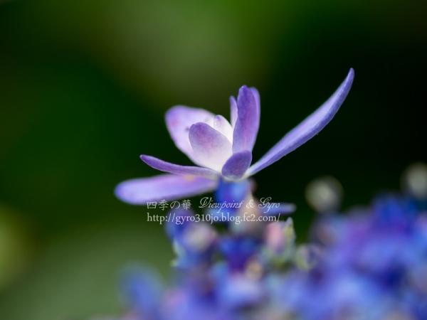 紫陽花 B