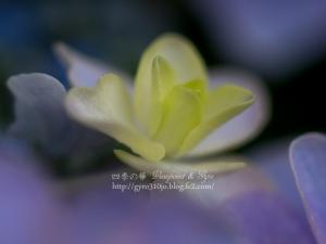 紫陽花 F