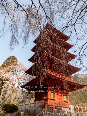 久遠寺の枝垂れ桜 H