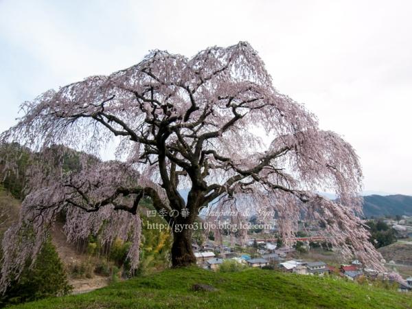 乙ヶ塚のしだれ桜 J