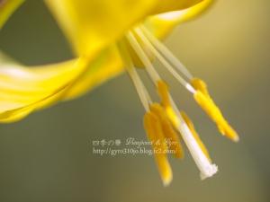 黄花カタクリの花 E