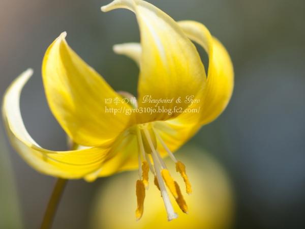 黄花カタクリの花 D