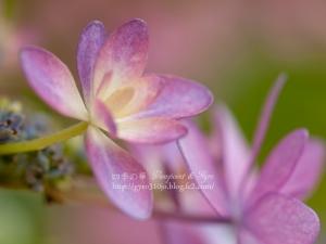 紫陽花 L