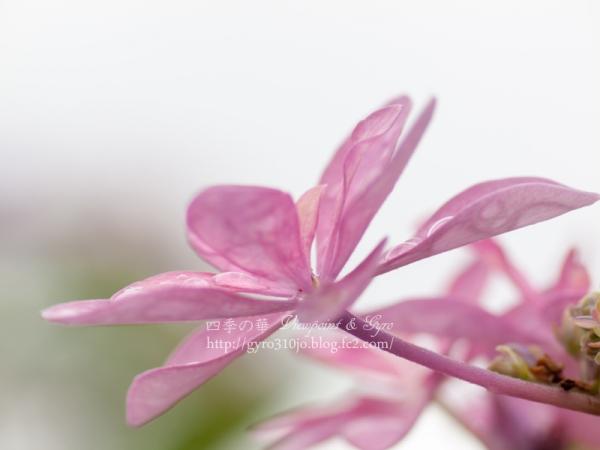 紫陽花 M