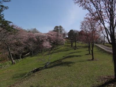 桜 018