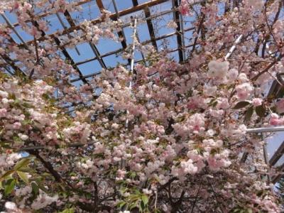 桜 024