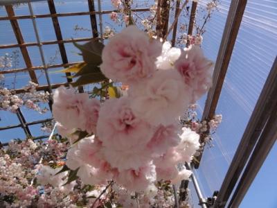 桜 026