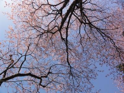 桜 029