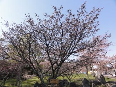 桜 034