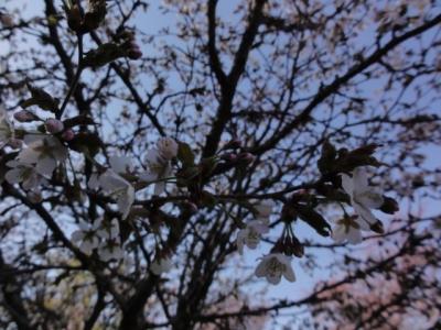 桜 036