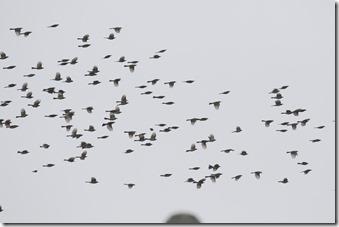 160425004 ヒヨドリの群れ(鵲)