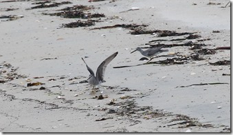 160425010 探餌していたキアシシギ(鵲)