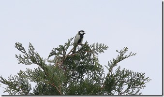 160425012 山頂の檜の天辺で囀るシジュウカラ(鵲)