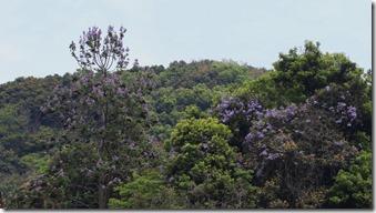 160425013 鮮やかなキリ(左)とヤマフジ(右)の花
