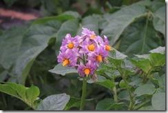 160425022 美しいイモの花