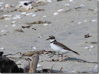 160524003 砂浜で採餌していたコチドリ(鵲)