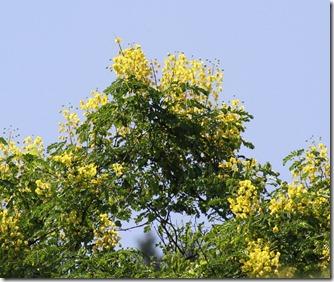 160618015 ジャケツイバラの花