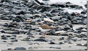 160630003 砂浜で採餌していたコチドリ(鵲)