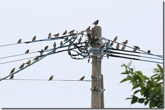 160630004 幼鳥の多いムクドリの群れ(鵲)