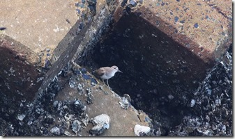 160725004 防波堤で見かけたイソシギ(鵲)