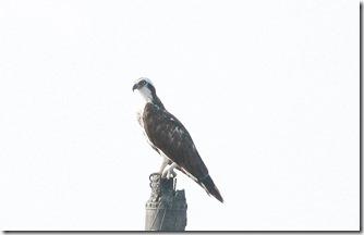 160725005 海岸の電柱で見かけたミサゴ(鵲)