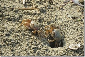 160725007 砂浜でみかけたスナガニ