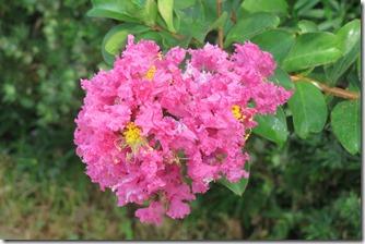 160725014 夏の花 サルスベリ
