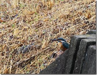 160829001 用水路で見かけた若いカワセミ♀(鵲)